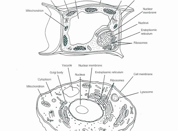 Printable Animal Cell Diagram Coloring Animal Cell ...
