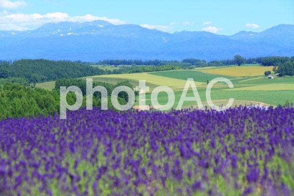 美瑛の丘とラベンダー