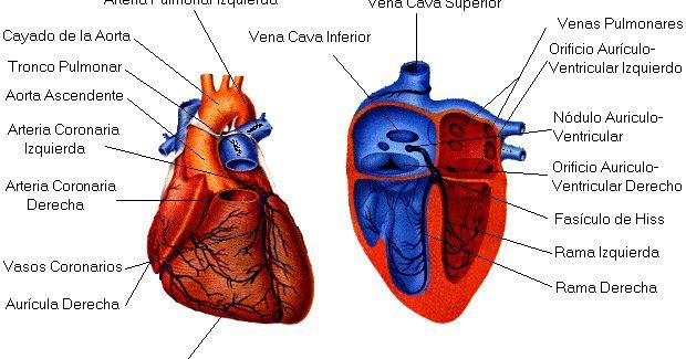El corazón  del cuerpo humano  es un órgano principal del aparato circulatorio. Ojo  que sin corazón no hay vida .        Dibujo del corazó...