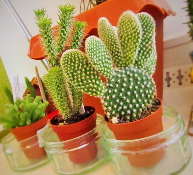 The Best Bunny Ear Cactus Ideas On Pinterest Cactus Flora - Japan is going mad over these tiny succulents that look like bunny ears