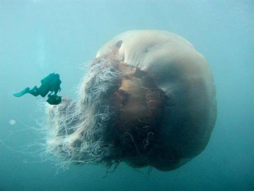 The Lion's Mane Jellyfish is the largest jellyfish in the world. They have been swimming in arctic waters since before the dinosaurs (over 650 million years ago) and are among some of the oldest surviving species in the world. The largest can come in at about 6 metres and has tentacles over 50 metres long. They have hundreds of poisonous tentacles that are used to catch fish passing by. (Via Brooklyn Mutt)