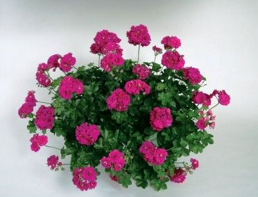 17 best images about geraniums on pinterest geranium himalayense red geraniums and plants - How to care for ivy geranium ...