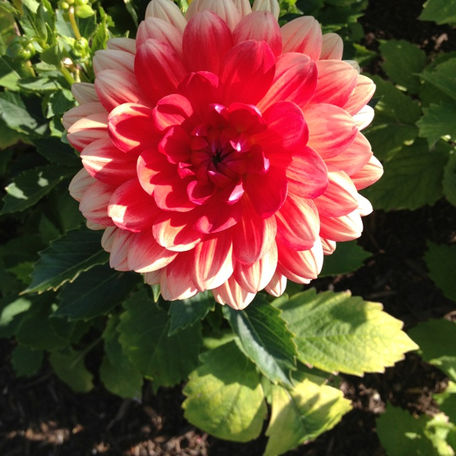 From garden at Stonewall Kitchen- I'm in love with this flower!Beautiful Flower, Stonew Kitchens, Stonewall Kitchens, Flower Arrangements, Fav Flower, Gardens Flower