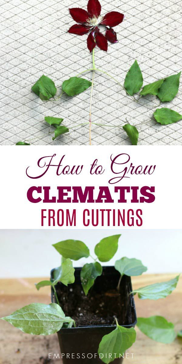 If You Have A Clematis Vine You Love Or A Friend Does This Tip Shows You How To Take Cuttings To Create More Vines That Clematis Plants Garden Vines Plants