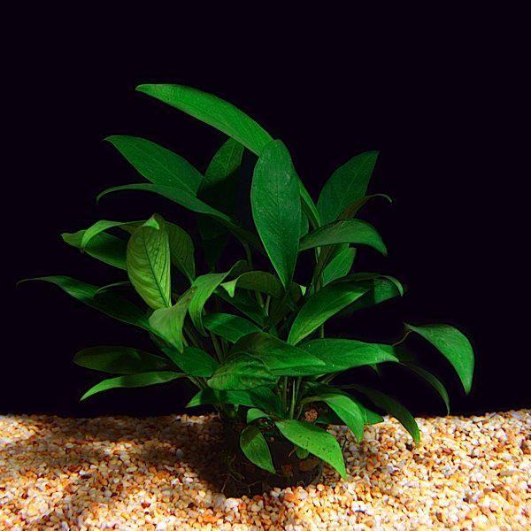 Planta aquática para aquapaisagismo Anúbia Barteri var. Glabra. Conhecida como Anúbia Lanceolata.