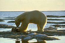 .Se cree que la familia, Ursidae, se separó de los otros carnívoros hace aproximadamente 38 millones de años. La subfamilia Ursinae se originó hace unos 4,2 millones de años. Según la evidencia fósil y los análisis de ADN, hace solo 150.000 años ocurrió la divergencia de la especie y el oso pardo (Ursus arctos).4 El fósil de oso polar más antiguo que se conoce, data de hace aproximadamente 130.000 a 110.000 años y se halló en la isla Príncipe Carlos Forland, en 2004