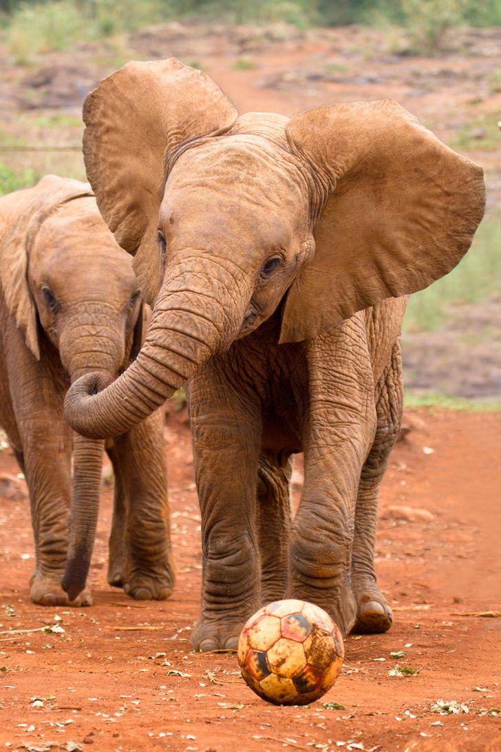 les éléphants jouent au football!