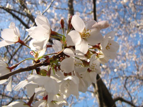 The Flowering Trees That Are Native To Michigan Include The Northern Catalpa American Basswood Wild Black White Flowering Trees Dogwood Trees Flowering Trees
