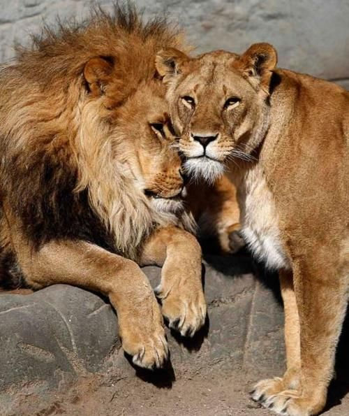thebigcatblog: A lion named Carbora nuzzles a lioness in their enclosure at the Hagenbeck Zoo in Hamburg. Picture: REUTERS