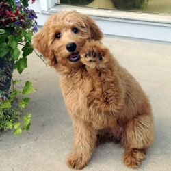 f1 standard Goldendoodle scotty