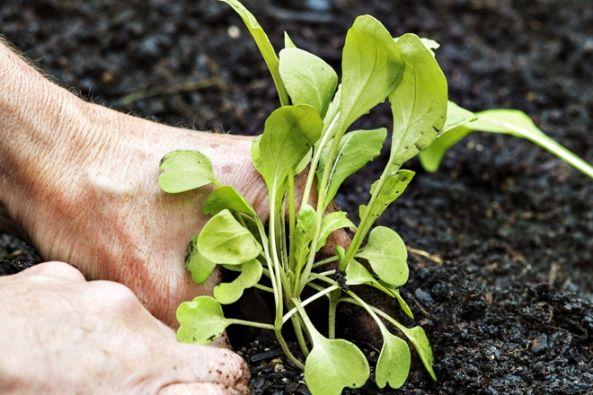 Pěstování rokety na okně i na zahradě