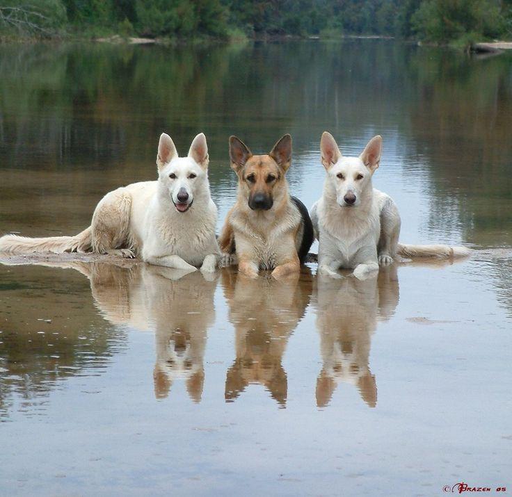 white shepherds - Google-haku                                                                                                                                                                                 More
