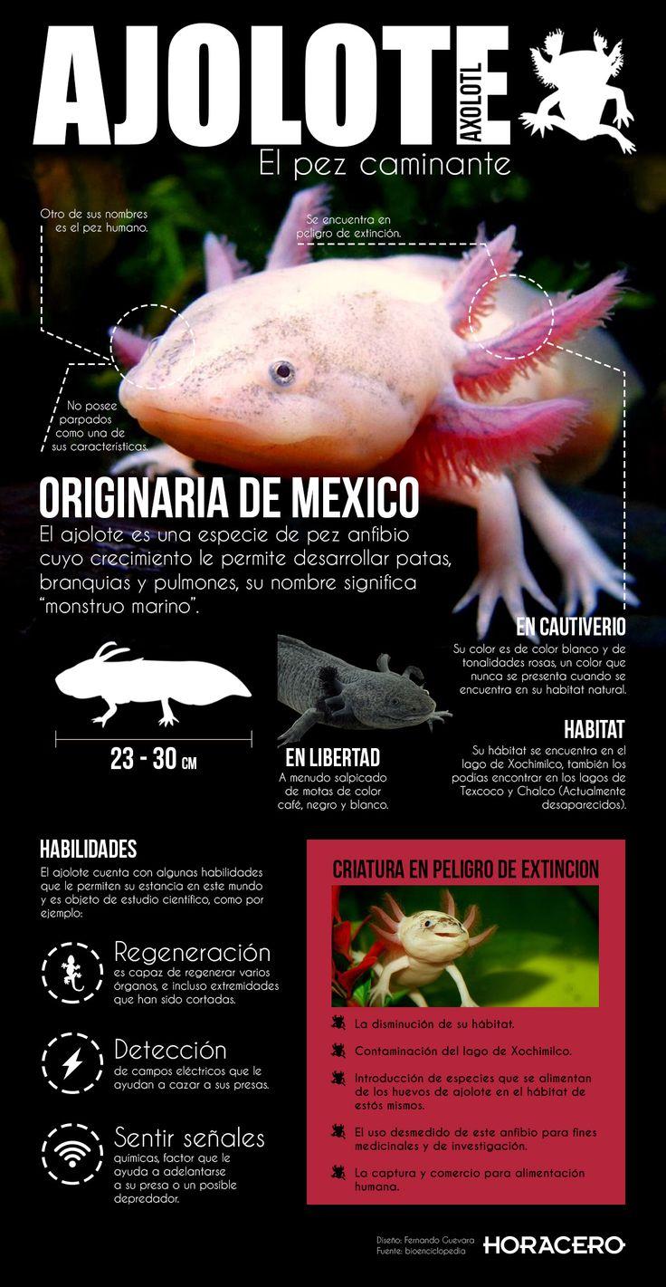 """Esta infografía trata sobre el ajolote, una criatura originaria de México cuyo nombre significa """"monstruo marino"""", también se le conoce como el pez humano"""