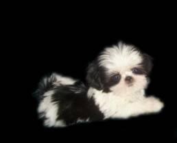 Tiny Toy Shih Tzu Puppies | Alabama Imperial shihtzu  Imperial dog breeder