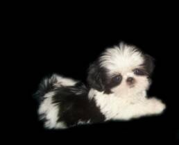 Tiny Toy Shih Tzu Puppies   Alabama Imperial shihtzu  Imperial dog breeder