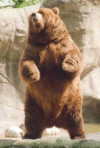 brown-bear-aka-grizzly-bear I love bears                                                                                                                                                     More