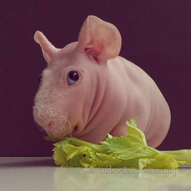 Best NakedSkinnyHairless Guinea Pigs Images On Pinterest I - Ludwig the bald guinea pig is winning the internets hearts