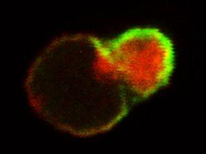 Researchers at Penn Uncover Mechanism Behind Blood Stem Cells' Longevity | Penn News