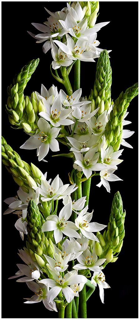 Ornithogalum thyrsoides 'Star of Bethlehem' one of the flowers I use in my arrangements