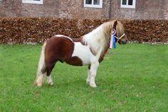 Caballo miniatura; Se llama así debido a la altura del animal, que por lo general oscila entre los 86 y 97 cm. Aunque los caballos miniatura son del tamaño de un poni muy pequeño. Son amistosos y suelen interactuar bien con la gente. Por esta razón son ideales como mascotas, a pesar de que conservan el comportamiento de un caballo, en cuanto a peleas o instinto. También son entrenados como animales de servicio. Por lo general son muy resistentes y suelen vivir más que una raza de caballo…