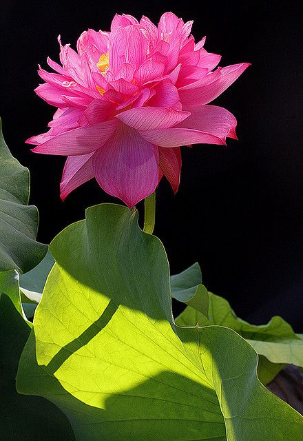 lotus: Pink Flower, Beautiful Flower, Lotus Beautiful, Flower Gardens, Pink Lotus, Lotus Flower, Floral Inspiration, Flower Collection, Flower Pink