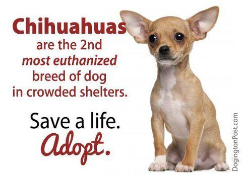 Adopt! Always check the shelters - they do get Chihuahua's that need homes. Or look for Chihuahua rescue in your area. Chihuahua's are used in dog fighting as bait - what a horrible way to die. That is horrible for any animal - even the ones that are trained to fight and kill.