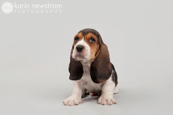 Bassets Puppy | Karin Newstrom Photography