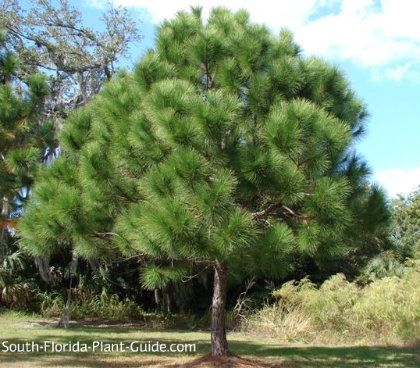 Slash Pine Tree Plants For South Florida Pinterest