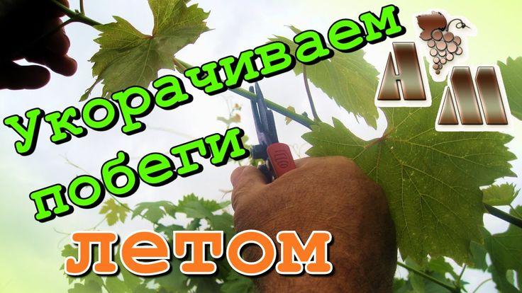 Летняя чеканка (укорачивание) побегов винограда