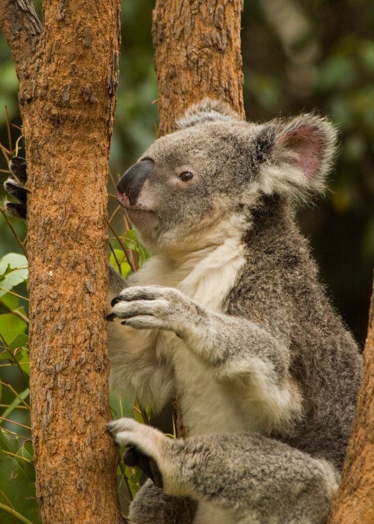 Did you know that the Australian koalas are now listed as
