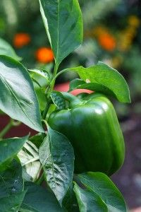 growing peppers: Green Thumb, How To Growing Peppers, Plants Green Peppers Plants, Gardens Peppers, Belle Peppers, Bell Peppers, Growing Peppers Plants, Green Belle, Gardens Growing