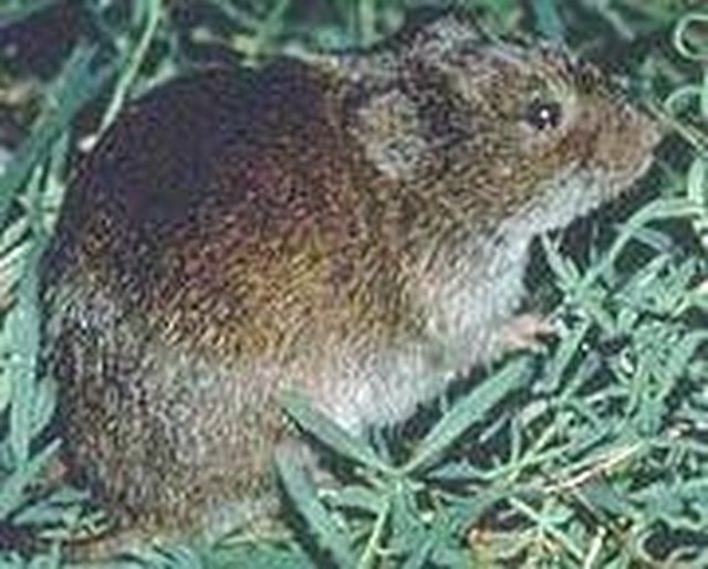 e49b326f5f5cebe65f54bbfe77267475 - How To Get Rid Of Voles Without Killing Them