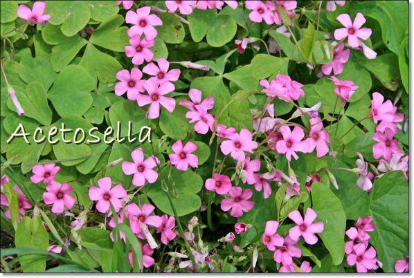 Acetosella