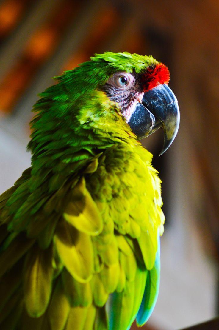 Ara Ambiguus ( Great Green Macaw)