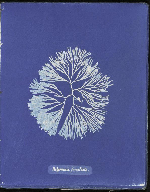 Anna Atkins, Photographs of British algae: cyanotype impressions, 1843