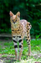 Serval standing up | by Tambako the Jaguar