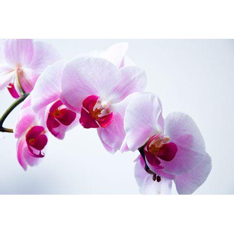 Obraz na płótnie - Biała orchidea - dostępny w rozmiarach 40x26, 60x40 #fedkolor #obrazzezdjęcia #obraznapłótnie #kwiat #kwiaty #kwiatki #orchidea #storczyk #wydrukujzdjęcie #napłótnie #dekoracje #ozdoby #pomysły #inspiracje #rośliny #spokój #białe #różowe #diy #dopokoju #dobiura #dosypialni