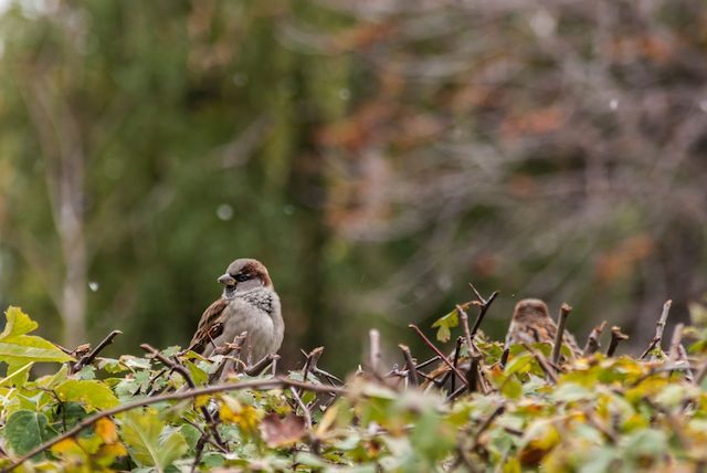 Displeased. It seems that the sparrows aren't too happy with the first snow. Photo by Vic Istomin on EyeEm
