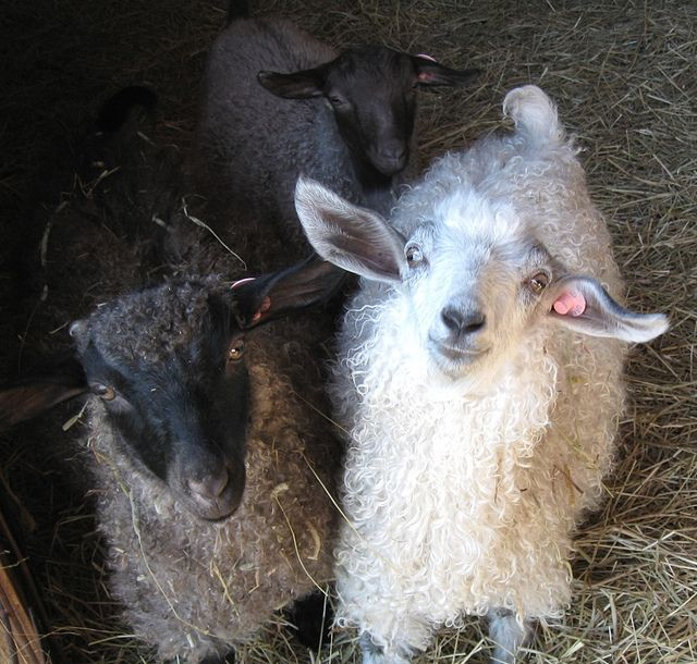 My pygora fiber goats at 6 months old, soon after arriving via truck from oregon