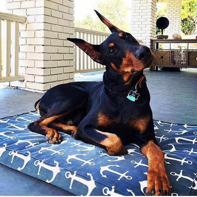 I feel like a part of me is missing. I need my Dobie baby                                               …