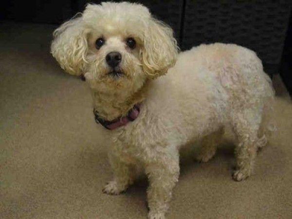Poodle And Maltese Mixed Dog For Adoption In Aurora Colorado Winnie In Aurora Colorado In 2020 Rescue Dogs For Adoption Dog Adoption Poodle Rescue