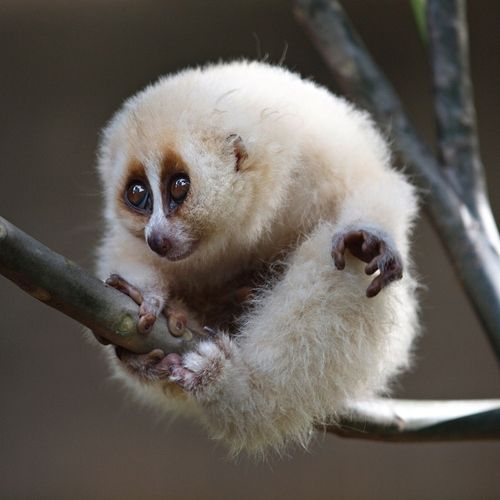 Slow Loris - Slow lorises are a group of five species of strepsirrhine primates which make up the genus Nycticebus. Found in South and Southeast Asia.     Slow lorises have a round head, narrow snout, large eyes, and a variety of distinctive coloration patterns that are species-dependent. Their arms and legs are nearly equal in length, and their trunk is long, allowing them to twist and extend to nearby branches. The hands and feet of slow lorises have several adaptations that give them a…