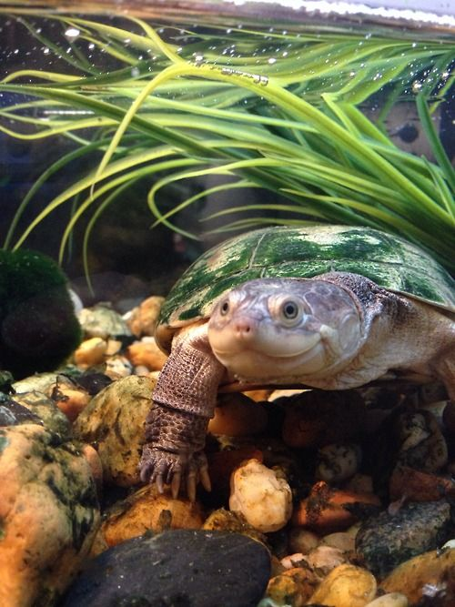 African Sideneck Turtles, or Pelomedusidae, are a family of freshwater turtles native to eastern and southern Africa.