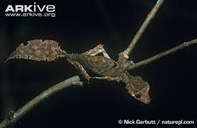 Image result for photo satanic leaf tailed gecko
