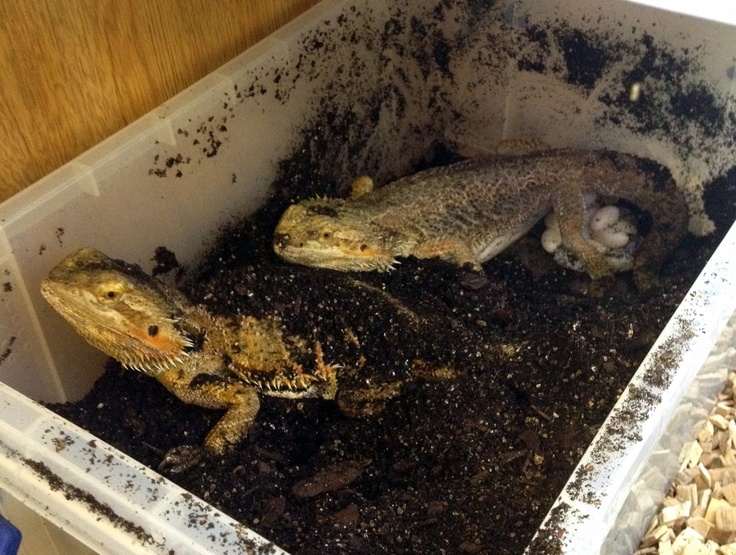 Our bearded dragons don't even take it in turns any more! 2 more clutches being laid as we speak at Northampton Reptile Centre!