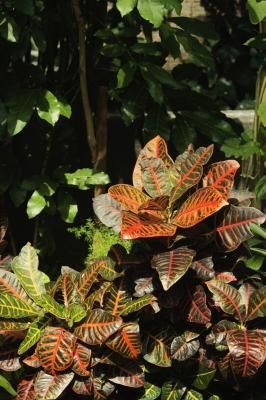 Dozens of types of crotons (Codiaeum variegatum) flourish outdoors in U.S. Department of Agriculture plant hardiness zones 8 to 10 as long as their specific temperature, light and moisture needs are ...