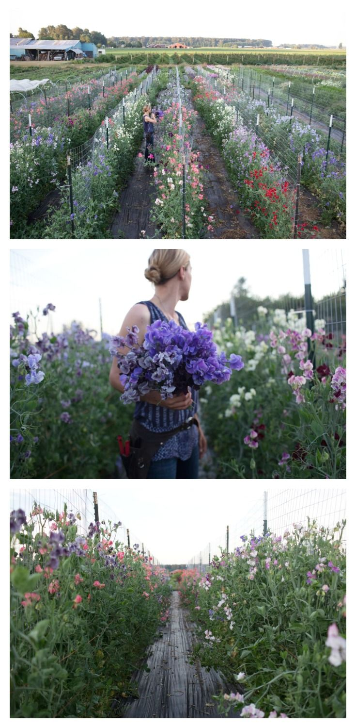 The trials of a sweet pea addict.  Some shots of just a few of the 100 varieties of sweet pea growing at Floret Flower Farm.