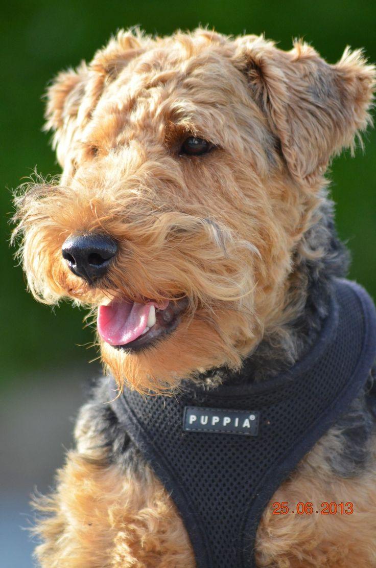 Festmenyek 3d ben 575 - Welsh Terrier