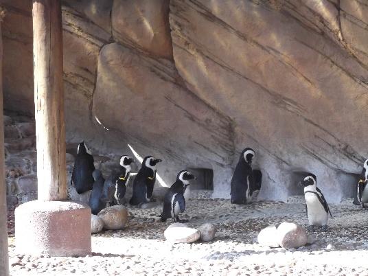 African Penguins, UShaka Marine World