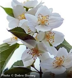 Find This Pin And More On Garden Trees Sweet Mockorange Philadelphus Coronarius Fast Growing Flowering Shrub Unique White Four Petal